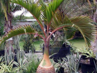 Champagne Bottle Palm