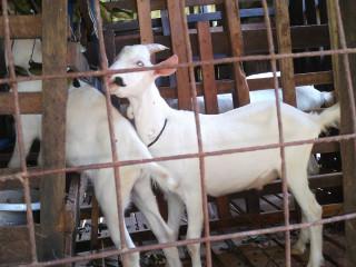 Sanne goat