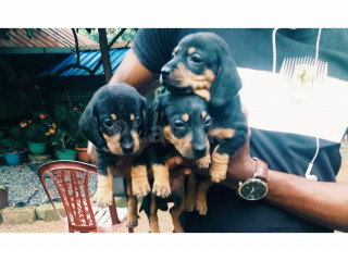 Dachshund Male. Female puppies
